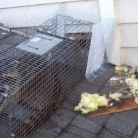 Trap-A-Raccoon