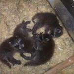 raccoon-babies-in-attic