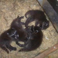 How To Remove Raccoon Babies From An Attic