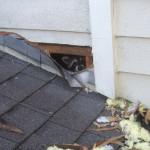 raccoon-in-attic