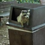 raccoon-trash-bin
