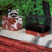 raccoon_in_chimney