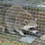raccoon_trapping