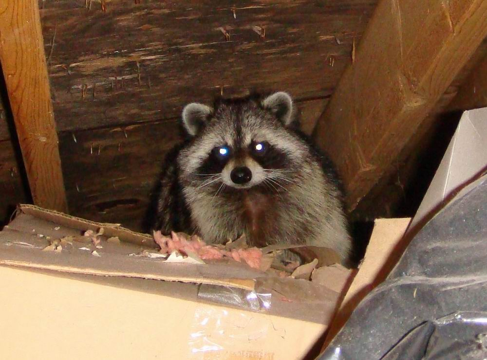 Dealing With A Raccoon In The Attic