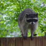 How to Keep Raccoons Off Your Property