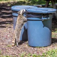 Humane Raccoon Removal Methods