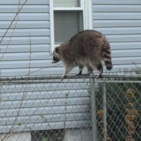 raccoon-walking-fence